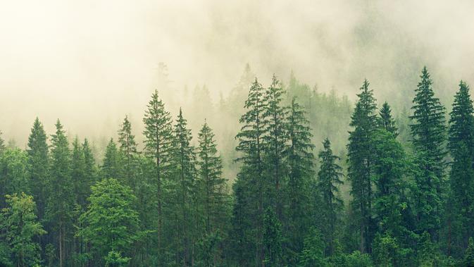 Hutan Pinus (Sumber: Pixabay)