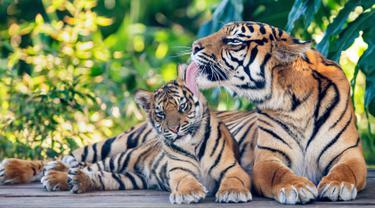 Kebun Binatang Taronga Sydney perkenalkan secara resmi kepada publik tiga ekor anak Harimau Sumatera yang lahir pada awal tahun ini