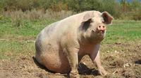 Ilustrasi babi jumbo (iStock)