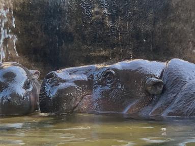 Bayi kuda nil kerdil jantan berusia dua hari berada di sebelah ibunya yang bernama Chiao Chiu saat bermain air di Taipei Zoo, Taiwan, Senin (12/8/2019). (Sam YEH/AFP)