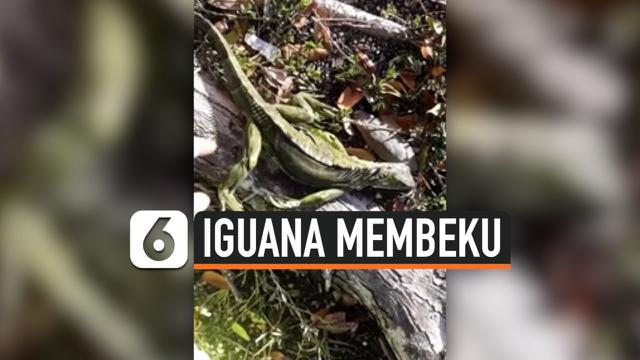 vertical iguana