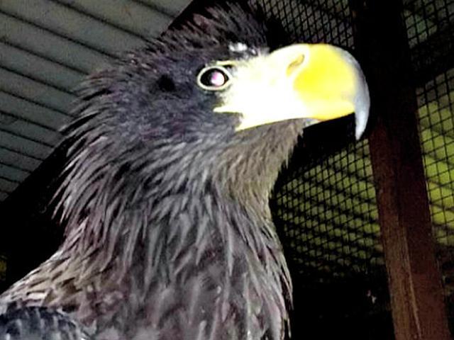 Download 66  Gambar Burung Elang Ukuran Besar HD Paling Unik Free