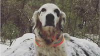 Anjing ini dengan berani melindungi tuannya dari serangan beruang meski harus mengorbankan nyawanya. (Doc: Instagram.com/mmspets)
