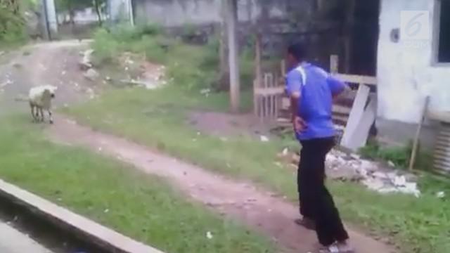 Aksi seorang pria melawan kambing. Ia beraksi layaknya seperti matador taklukan banteng.