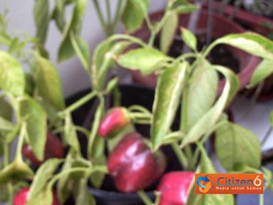 Citizen6: Paprika yang sudah berbunga dipindahkan ke dalam pot hingga menjadi tanaman paprika yang siap panen. (Pengirim: Subagya W)