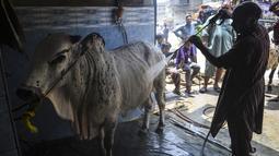 Seorang pria mencuci sapi untuk pelanggan di tempat cucian mobil di Karachi, Pakistan, Rabu (14/7/2021). Menjelang perayaan Idul Adha, tempat pencucian mobil berganti menjadi bisnis cuci hewan kurban, seperti sapi, domba dan kambing. (Rizwan TABASSUM / AFP)