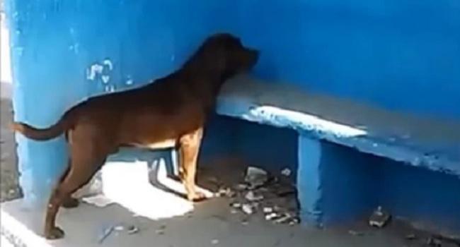 Chicho, anjing yang terus menatap dinding warna biru/copyright odditycentral.com/video screengrab