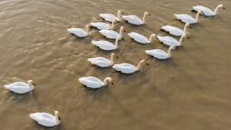 Foto udara menunjukkan kawanan angsa berenang di Danau Dongting Barat, Changde, Provinsi Hunan, China, 11 November 2020. Danau Dongting Barat, beserta lahan basahnya yang memiliki kekayaan hayati, telah menjadi jalur utama bagi kawanan burung yang bermigrasi. (Xinhua/Chen Sihan)