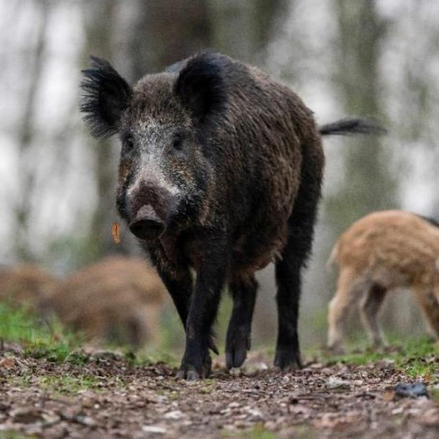 100 Gambar Babi Poland China Terlihat Keren