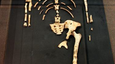Kerangka Lucy, nenek moyang manusia
