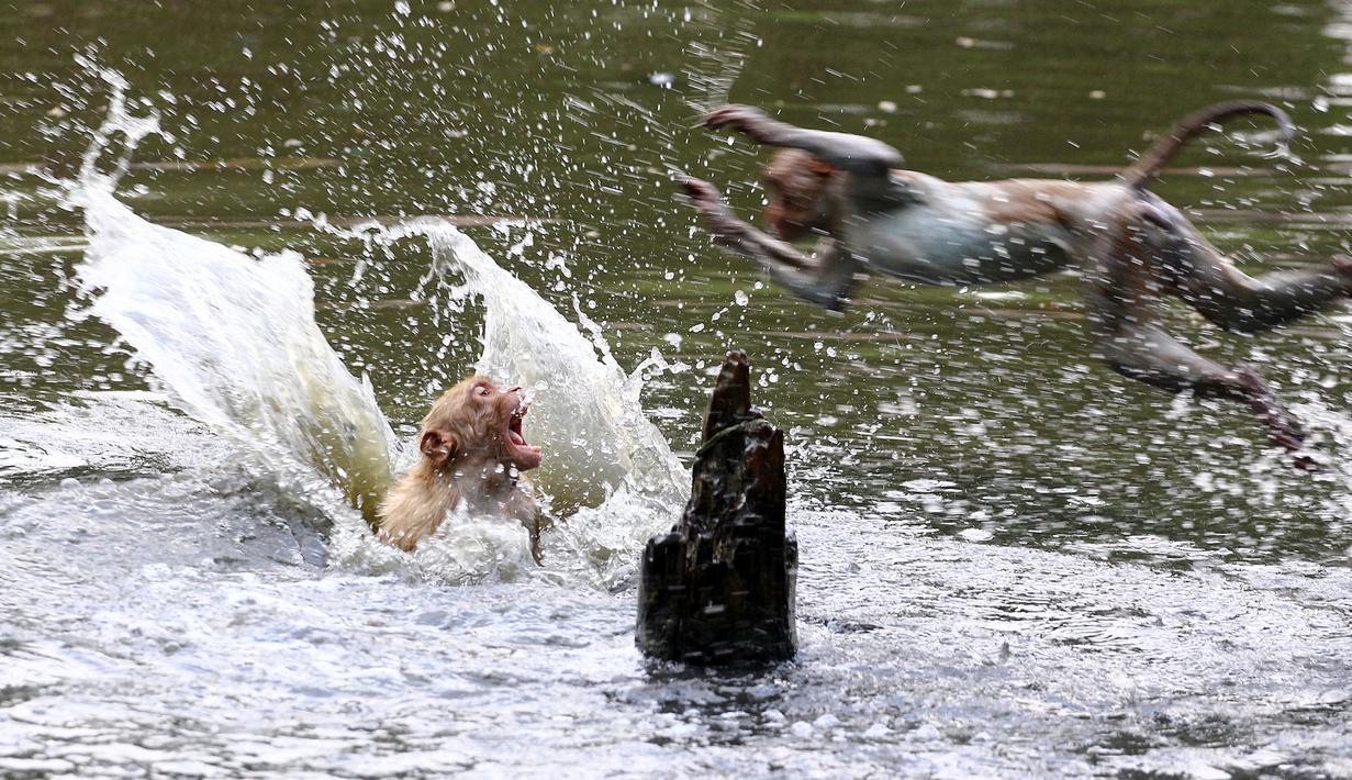 Monyet melompat ke sebuah kolam selama hari musim panas di Allahabad, di Uttar Pradesh, India, Rabu (26/5/2020). Pada Senin (24/5), panas terik mencengkeram Uttar Pradesh dan Allahabad adalah tempat terpanas di negara bagian itu dengan suhu 46,3 derajat Celcius. (SANJAY KANOJIA/AFP)