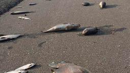 Ikan-ikan mati berserakan setelah banjir surut di jalan raya Interstate 40, North Carolina pada 22 September 2018. Banjir yang disebabkan oleh Badai Florence membuat ikan-ikan keluar dari habitatnya dan mendamparkan mereka di jalan raya. (AP Photo)
