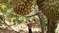 Perkebunan durian Montong Cane di Desa Limbangan, Wanareja, Cilacap, Jawa Tengah. (Foto: Liputan6.com/Muhamad Ridlo)