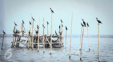 Sejumlah burung Pecuk Padi Kecil hinggap di bagan apung nelayan di perairan Muara Angke, Penjaringan, Jakarta Utara, Selasa (3/1). Habitat burung Pecuk Padi Hitam tersebut berdampingan dengan pemukiman nelayan Angke. (Liputan6.com/Faizal Fanani)