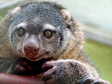 Induk dari kuskus beruang Sulawesi yang lahir pertama kalinya di penangkaran kebun binatang Wroclaw di Polandia, Selasa (5/6). Para staf baru mengetahui marsupial kecil yang langka itu muncul ketika kantong induknya mulai bergerak. (AFP/Wroclow Zoo)