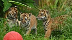 Tiga anak harimau sumatera untuk pertama kalinya dilepas ke kandang terbuka di Kebun Binatang Toranga, Sydney, Jumat (29/3/2019). Ketiga anak Harimau Sumatera yang berjenis kelamin dua betina dan satu pejantan itu lahir pada 17 Januari 2019. (PETER PARKS / AFP)