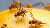 Lalat buah sering datang tanpa diundang. Akibat ukuran tubuhnya yang kecil, lalat buah sering luput dari perhatian Anda.