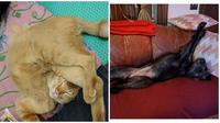 Pose nyeleneh hewan saat tidur (Sumber: Twitter/ulat_bulu_bulu/Boredpanda)