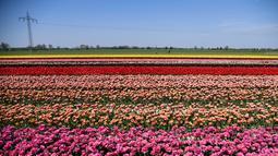 Pandangan udara terlihat ladang bunga tulip saat matahari bersinar di Korschenbroich, Jerman Barat (18/4). Negeri Belanda terkenal sebagai negeri bunga tulip. Tulip juga merupakan bunga nasional Iran dan Turki. (AFP Photo/Ina Fassbender)