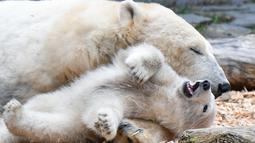 Seekor anak beruang kutub berinteraksi dengan induknya, Tonja, di kandang mereka di kebun binatang Tierpark, Berlin pada Selasa (26/3). Anak beruang kutub berjenis kelamin betina yang belum dinamai itu lahir pada 1 Desember 2018. (Photo by Jens Kalaene / dpa / AFP)