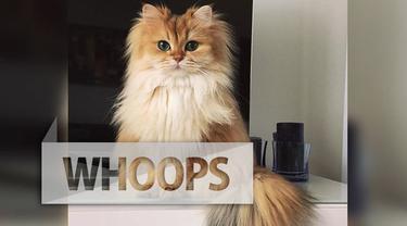 Seekor kucing betina dengan bulu panjang, tampak cantik saat difoto dari berbagai sudut. Tak hanya dianggap cantik, kucing bernama Smoothy ini pun menghebohkan netizen karena kepiawaiannya dalam berpose