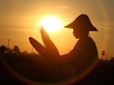 Seorang petani bekerja memanen padi saat matahari terbenam di sawah di Naypyitaw, Myanmar (9/11). Pertanian di Myanmar industri utama di negara ini dengan 6,300,000 hektar tahun 2003. (AP Photo / Aung Shine Oo)