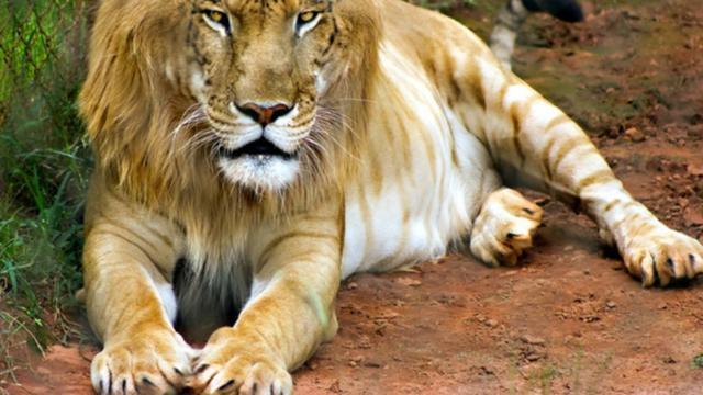 83 Gambar Hewan Harimau Beserta Penjelasannya HD
