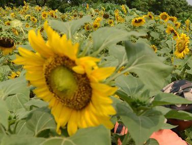 Indahnya Bunga Matahari yang Hiasi Sepanjang Jalan BKT Cakung