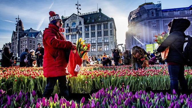 Orang-orang memetik tulip pada Hari Bunga Tulip Nasional di Dam Square, Amsterdam pada 19 Januari 2019. Acara ini merupakan awal musim bunga tulip internasional yang secara resmi dimulai hingga akhir April mendatang. (Robin Utrecht / ANP / AFP)#source%3Dgooglier%2Ecom#https%3A%2F%2Fgooglier%2Ecom%2Fpage%2F%2F10000