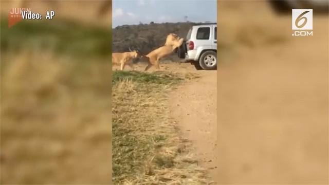 Sebuah mobil hampir jadi 'mangsa' kawanan singa di Afrika Selatan. Mereka berusaha menahan laju mobil tersebut.