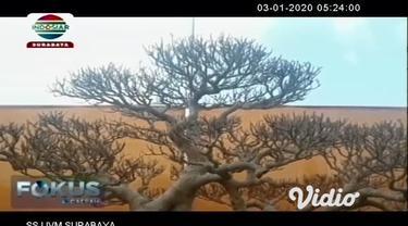 Kontes dan pameran ratusan pohon bonsai di Gresik, Jawa Timur menarik minat para pengunjung dan penggemar bonsai. Bentuknya yang unik dan eksotik membuat harga tanaman bonsai yang dipamerkan tersebut sangat fantastis antara Rp. 20-60 juta.