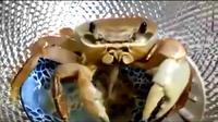 Tidak disangka-sangka kalau kepiting ini malah ketagihan bakmi.
