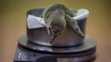 Bayi penguin Humboldt yang berumur satu bulan ditimbang di Kebun Binatang di Praha (11/11/2019). Setelah beberapa upaya untuk menetas penguin di kebun binatang gagal dalam beberapa tahun terakhir, bayi penguin Humboldt lahir pada 18 Oktober. (AFP Photo/Michal Cizek)