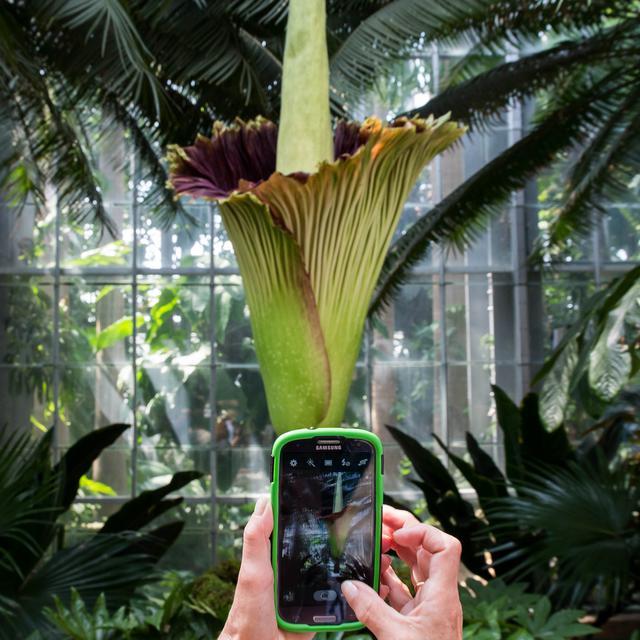 Bunga Bangkai Asli Sumatra Mekar Di Kebun Raya Pennsylvania As Global Liputan6 Com