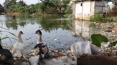 Dua ekor bebek terlihat di sekitar Waduk Surilang, Pasar Rebo, Jakarta Timur, Senin (25/2). Waduk yang mengalami pendangkalan akibat lumpur yang lama tak dikeruk tersebut dikhawatirkan meluap saat musim hujan. (Liputan6.com/Immanuel Antonius)