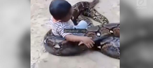 Aksi nekat dilakukan seorang bocah, ia nekat bermain dengan ular piton dan menganggapnya mainan.