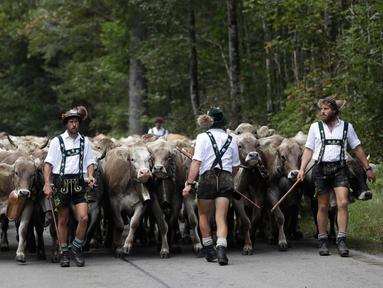 Penggembala Bavaria menggiring hewan ternak mereka di pegunungan dekat Oberstdorf, Jerman, Kamis (13/9). Memasuki musim gugur, penggembala Bavaria akan memindahkan hewan ternak mereka untuk mendapatkan rumput di lembah. (AP Photo/Matthias Schrader)