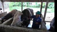 Mike Tyson, sapi yang dikurbankan Jokowi untuk warga Sulawesi Barat (Fauzan/Liputan6.com)