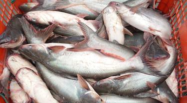 """Komoditas unggulan baru berupa spesies ikan patin """"luar biasa"""" yang dinamakan Patin Perkasa"""