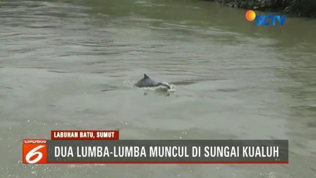 Kedua lumba-lumba tersebut akan dikembalikan ke habitatnya oleh pihak BKSDA.