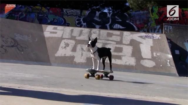 Mia si anak anjing asal Boston, AS, dikenal sebagai hewan yang jago bermain skateboard.