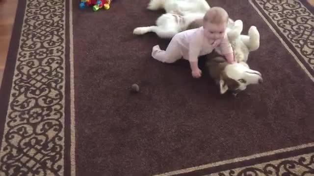 Siberian husky bermain dengan bayi.