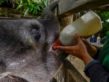 Dokter hewan memberi makan bayi gajah di Pusat Latihan Gajah, Saree, Aceh, Sabtu (23/8). Kondisi luka pada kaki bayi gajah akibat terkena jerat pada awal Mei 2018 lalu itu terus membaik dan tinggal menunggu proses penyembuhan. (AFP/CHAIDEER MAHYUDDIN)