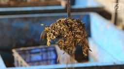 Ulat maggot sedang memakan sampah organik di penakaran Unit Pengolahan Sampah (UPS) 2 Sukmajaya Depok, Jawa Barat, Selasa (5/3). Hasil dari sampah yang dimakan oleh ulat maggot dipakai untuk menambah kebutuhan ekonomi warga. (Liputan6.com/Herman Zakharia)