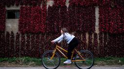 Pengendara sepeda melintasi tembok yang dipenuhi jemuran paprika merah di Desa Donja Lakosnica, Serbia, Senin (25/9). Saat musim gugur, seluruh desa berubah menjadi merah karena banyak paprika yang dijemur di tembok hingga atap rumah (ANDREJ ISAKOVIC/AFP)
