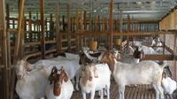 Ilustrasi kambing kurban (sumber : pertanian.tv)