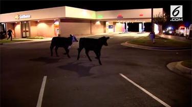 Mobil truk yang membawa sekitar 90 ekor sapi terbalik di Atlanta, AS. Tidak ada korban jiwa dalam kecelakaan ini, namun beberapa ekor sapi terluka dan beberapa lainnya harus ditenangkan untuk diamankan.