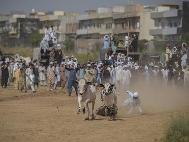 Seorang petani kehilangan kendali atas sapi yang diadunya saat penonton menyaksikan kompetisi balapan sapi tradisional di pinggiran Islamabad, Pakistan, Minggu (27/6/2021). Ditengah pandemi covid-19, balapan sapi ini disaksikan banyak penonton. (Farooq NAEEM/AFP)