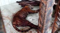 Bangkai Elsa, Harimau Sumatra yang ditemukan tewas di dalam kandang di Taman Wisata Alam Seblat Bengkulu. (Liputan6.com/Yuliardi Hardjo Putra)