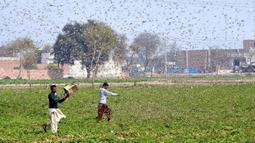 Petani berusaha menghindari serbuan belalang di Distrik Okara, Provinsi Punjab, Pakistan timur (15/2/2020). Serangan belalang terhadap tanaman telah menyebabkan kerugian finansial yang besar bagi para petani di beberapa wilayah negara tersebut. (Xinhua/Str)